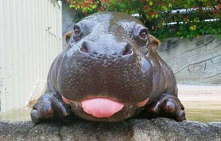 Умилительные фотографии бегемотиков для вашего хорошего настроения (21 фото)