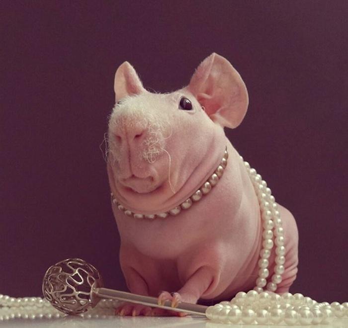 INSTAGRAM/LUDWIK_GUINEA_PIG